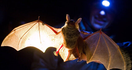 Bats obey traffic rules, study says