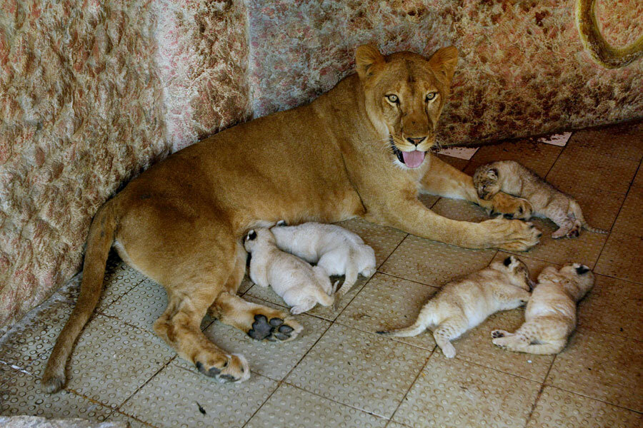 Lioness Gives Birth To Quintuplets In Stani Home