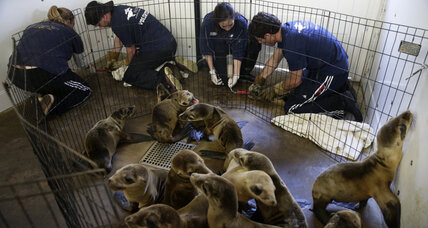 Sea lion pups washing ashore in California test capacity of rescue network (+video)