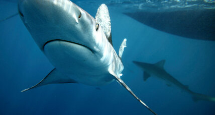 With fins off the menu, shark slaughter is ebbing