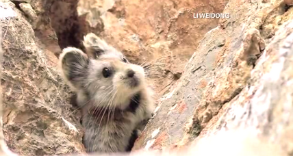Small, cute, and extremely rare mammal rediscovered in China