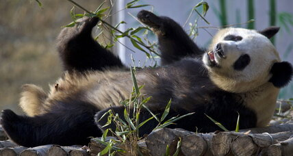 Pandas are actually pretty gregarious, study finds