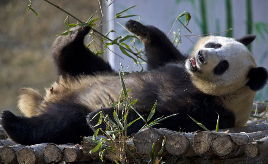 Together Energy Reviews >> Pandas are actually pretty gregarious, study finds ...