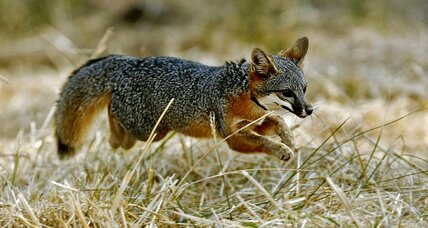 How the little Channel Islands fox came back from near-extinction