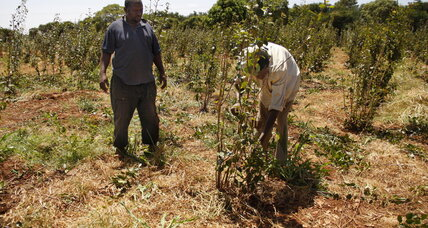 With less rain, farmers in Kenya quit food crops to cash in on legal drug