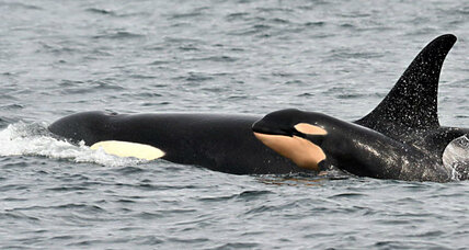 Are orcas making a comeback in the Pacific Northwest?