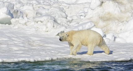 Displaced polar bears will struggle for food, scientists say