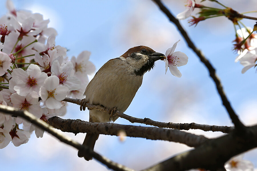 japan has china to thank for its cherry blossoms says china