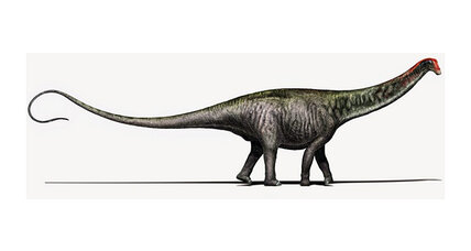Is Brontosaurus making a comeback? A new analysis of the long-necked dinosaur.