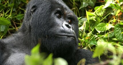 Why are mountain gorillas losing their genetic diversity?