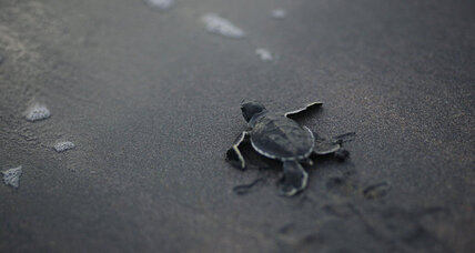 Where do sea turtles spend their 'lost years?' (+video)
