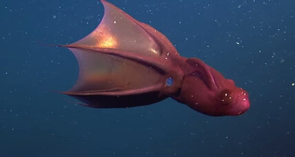 Vampire squid discovery reminds us how little we know about them (+video)