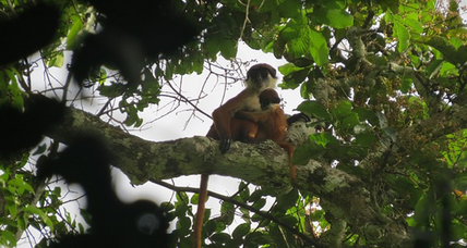 Scientists glimpse monkey thought to have gone extinct