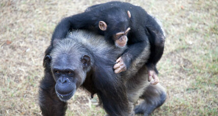 NY judge recognizes chimps as persons: A step toward legal rights for animals?