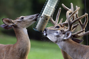 Deer Feast At A Bird Feeder. Find Tips On How To Keep Your Feeder For The  Birds.