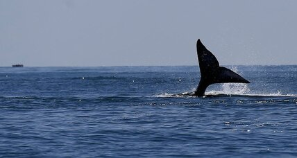 At a whopping 14,000 miles, whale wins the longest mammal migration