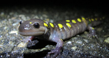 New England amphibian migration endangered by late spring