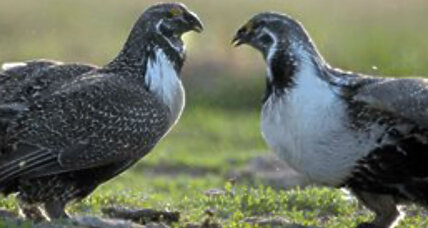Why the sage grouse is not endangered any more