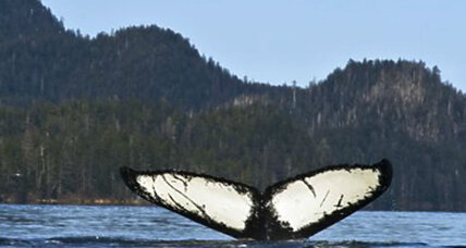 Save the whales? Why the humpback doesn't need protecting anymore