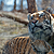 Elusive Siberian tigers captured in spectacular photos