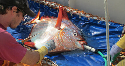 Opah! First known warm-blooded fish flaps to generate heat (+video)