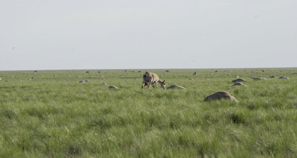 Why have 121,000 antelopes in Kazakhstan suddenly dropped dead? (+video)