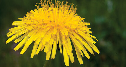 In praise of dandelions