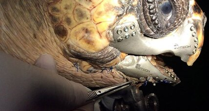 Turtle gets new 3D printed jaw: How 3D is changing veterinary care
