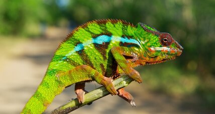 New chameleon species showcase fragile biodiversity in Madagascar