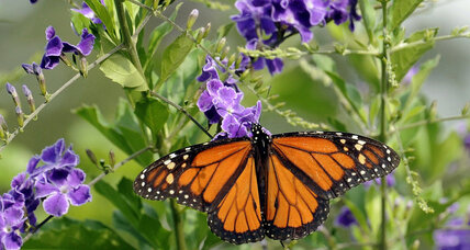 How Obama's 'butterfly highway' paves way to save embattled monarchs