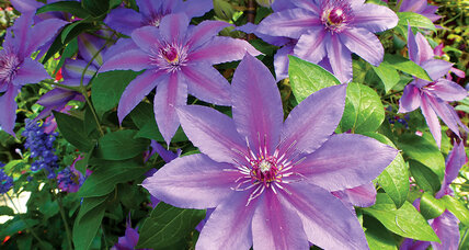 Clematis, 'queen of the climbers'