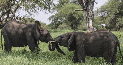 Elephants face 'catastrophic' decline in Tanzania