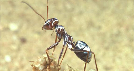 How do half-inch ants survive the Sahara? Silver hairs, scientists say.