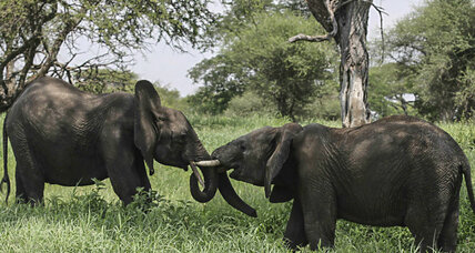 Can DNA technology help put a stop to elephant poaching? (+video)