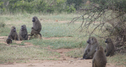 Democratic decision-making observed in baboon troops