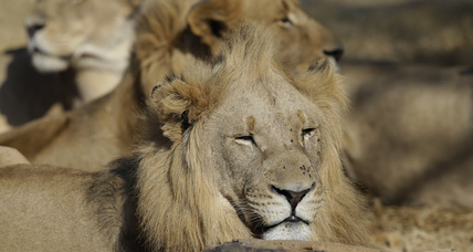 Lions return to Rwanda, as seven are moved from South Africa