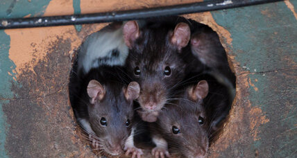 Daydream believer: Rats dream of a better future