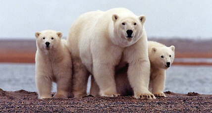 What's the future of polar bears? Studies say they may soon be extinct