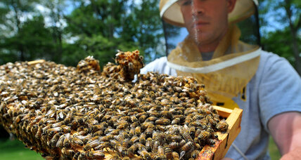 How Americans can help protect bees, other pollinators