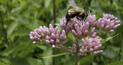 Climate change turns up heat on bumblebees