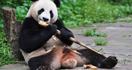 Why are China's giant pandas so lazy?