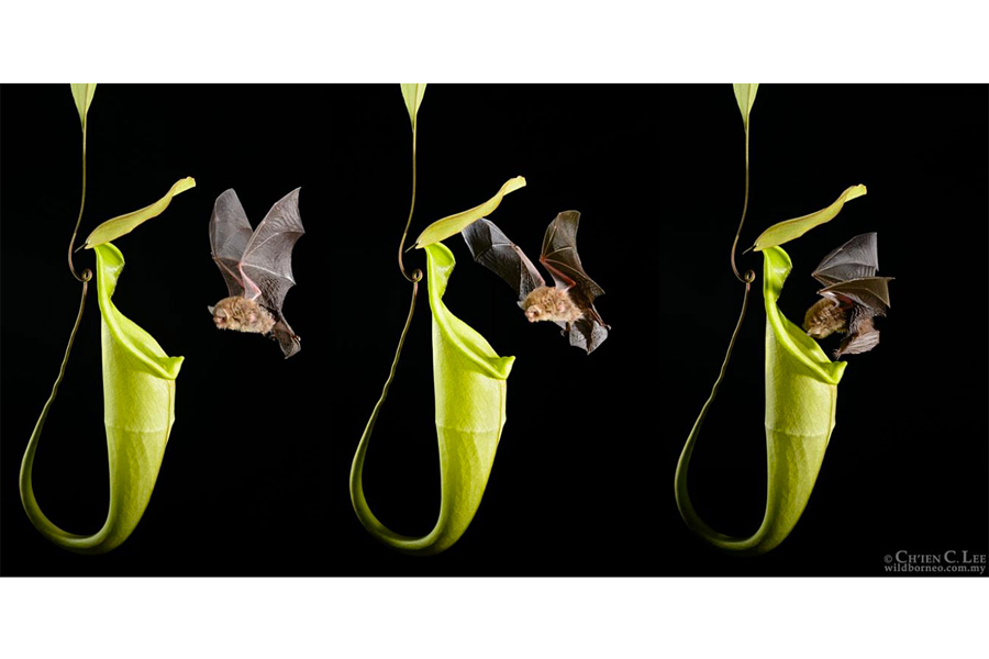How a plant species communicates with bats