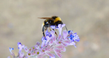 Why is Earth losing its bumblebees? (+video)