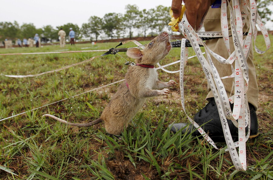 Cambodia Uses Life Saving Rats To Sniff Out Deadly