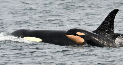 Orca baby boom: Enough to save the endangered whales?