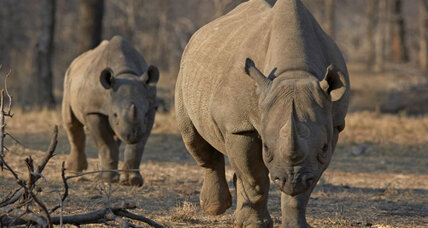 Body cams for rhinos? New gear catches poachers red-handed