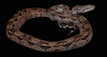 Scientists debunk myth about boa constrictors