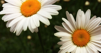 Are Fukushima's mutant daisies a wonder or a warning?