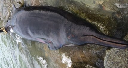 Rarely seen beaked whale washes ashore in Massachusetts