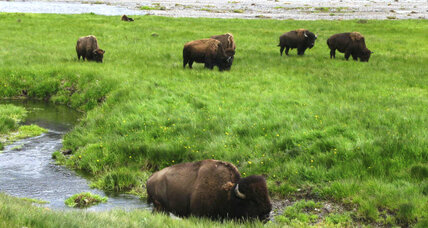 Enough with the bison selfies at Yellowstone, says National Park Service